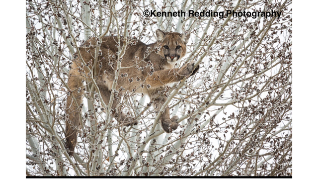 Mountain Lion Rescue In Grand Junction